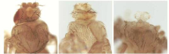 картинка: drosophilabezgolovi.jpg