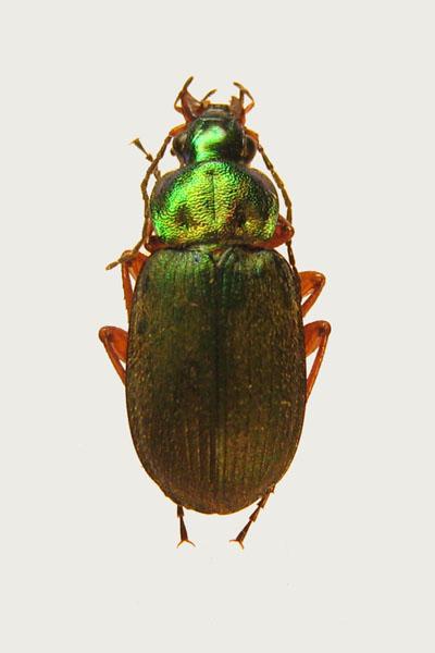 картинка: Ch_nigricornis.jpg