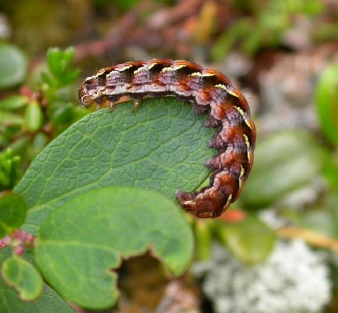 картинка: larva1.JPG