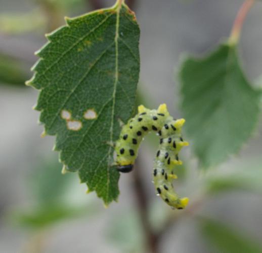 картинка: larva4.JPG
