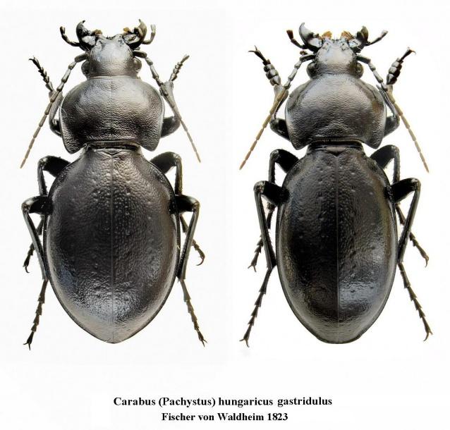 картинка: Carabus__Pachystus__hungaricus_gastridulus_Fischer_von_Waldheim_1823.jpg