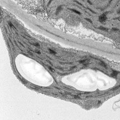 картинка: arabidopsis_leaf2_s.jpg