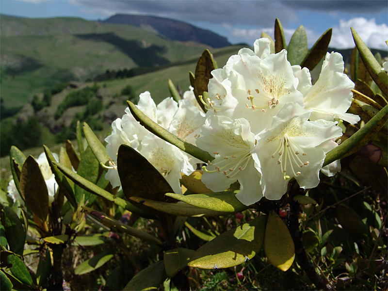картинка: Rhododendron_caucasicum2.jpg