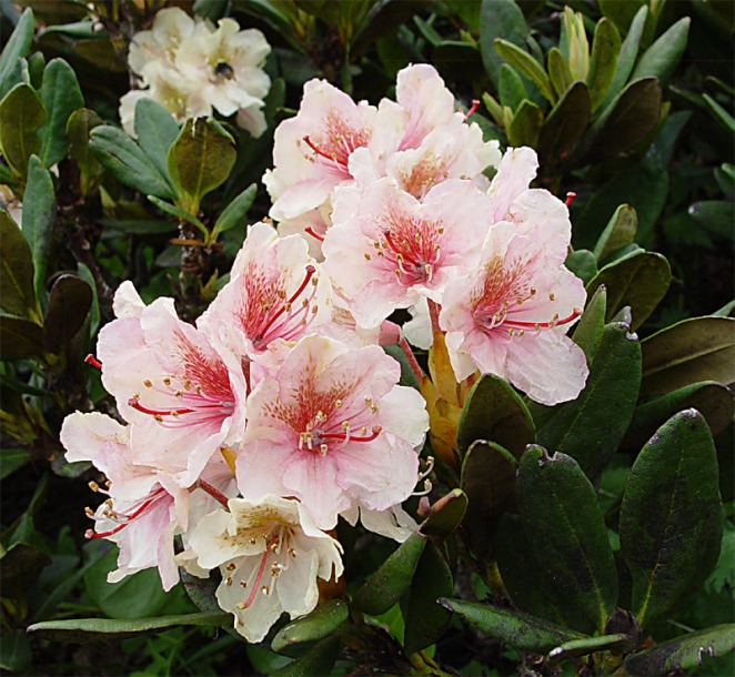 картинка: Rhododendron_caucasicum3.jpg
