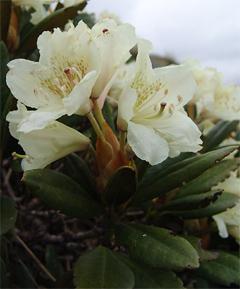 картинка: Rhododendron_caucasicum.jpg