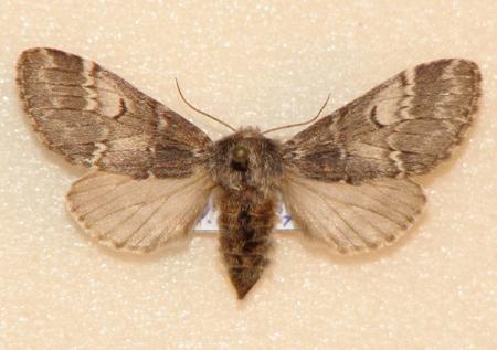 картинка: Drymonia_ruficornis.JPG