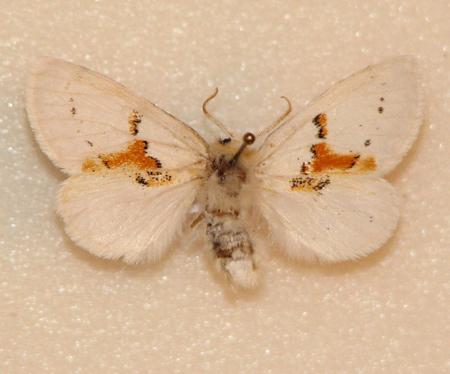 картинка: Leucodonta_bicoloria.JPG