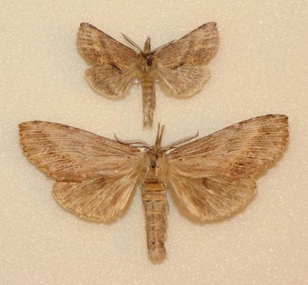 картинка: Pterostoma_palpinum___sinicum.JPG