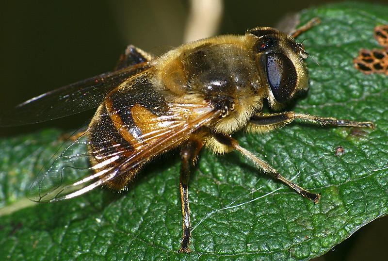 картинка: Syrphidae_02.jpg