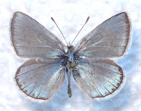 картинка: Lerotides.JPG