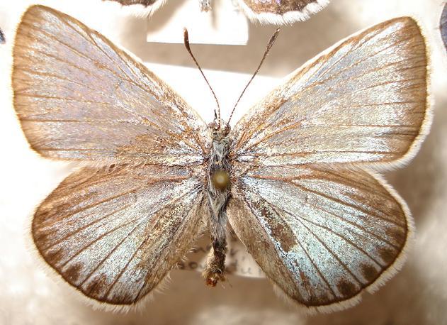 картинка: Pamandusamurensis.JPG