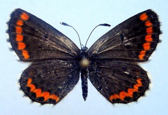 картинка: uchinensis.JPG