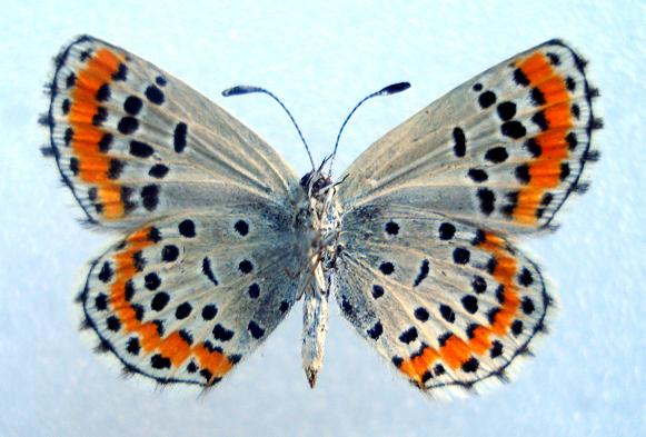 картинка: uchinensis2.JPG