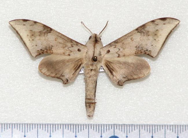 картинка: Neopolyptychus_serrator.JPG