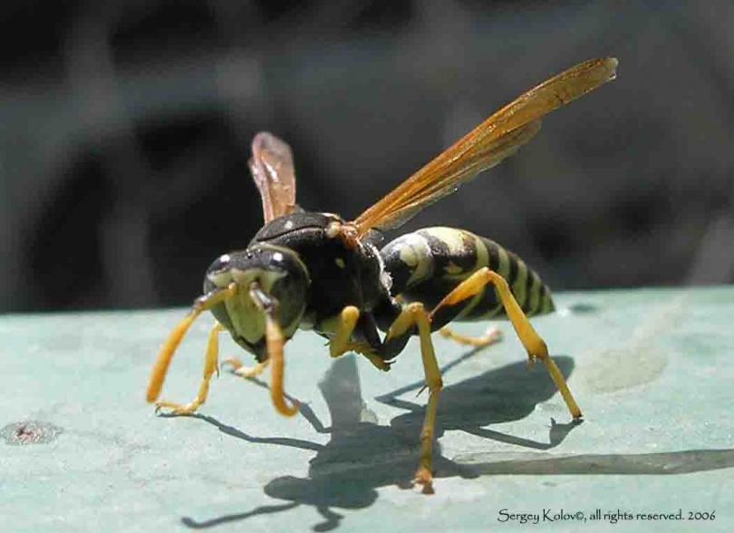 картинка: vespidae_gensp.jpg