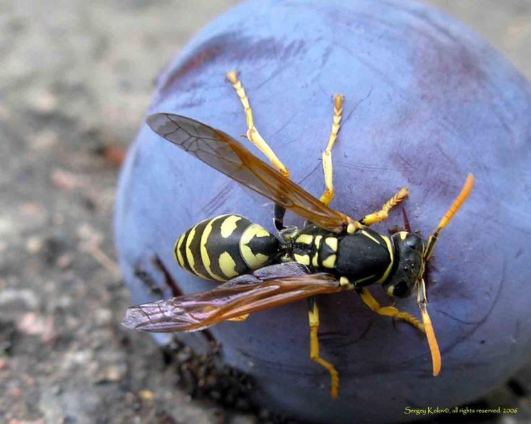 картинка: vespidae_gensp3.jpg
