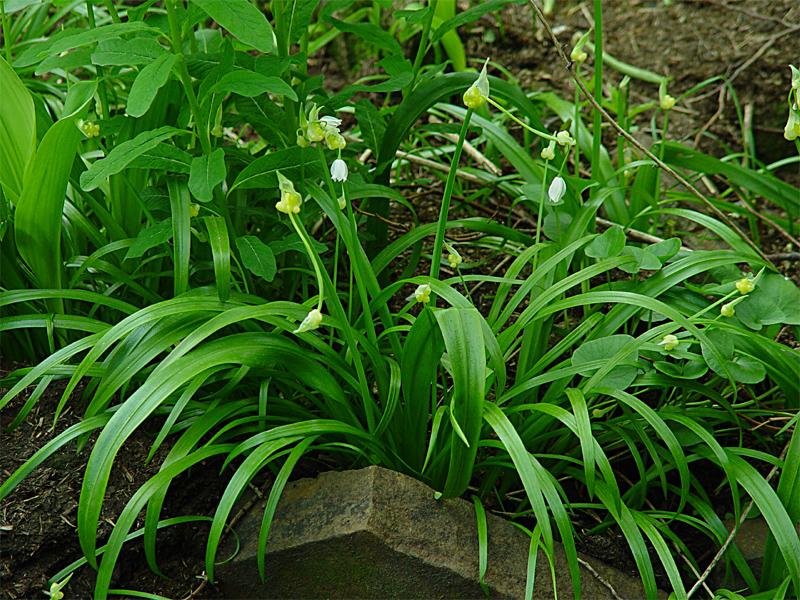 картинка: Allium_paradoxum5.jpg