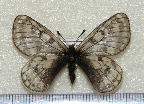 картинка: boedromius.JPG