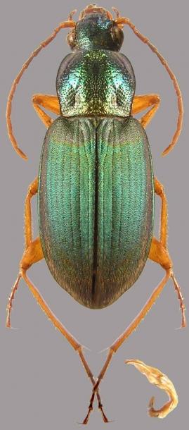 картинка: Chlaenius_flavicornis.jpg