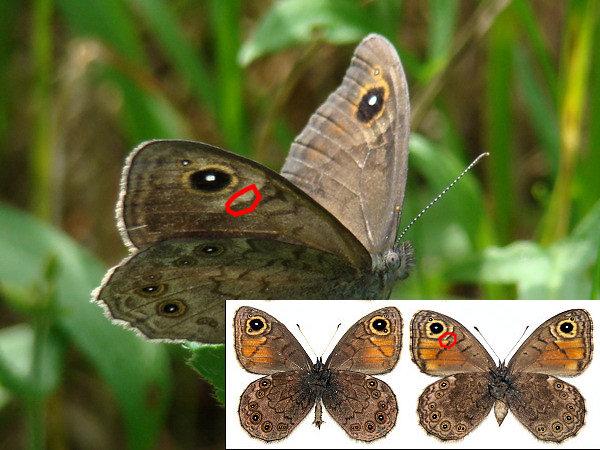 картинка: Lasiommata.jpg