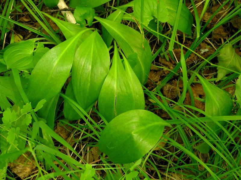 картинка: Allium__ochotense_5.JPG