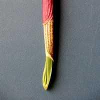 картинка: Allium_ochotensis_17.JPG