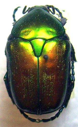 картинка: eupotosia_affinis.jpg