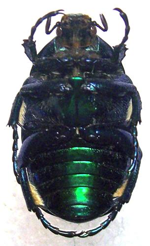 картинка: eupotosia_affinis_1.jpg