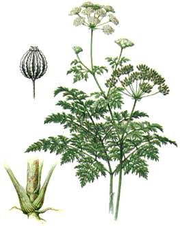 Болиголов является сильнодействующим ядом, но часто используется в целебных зельях и мазях.  Корни, траву и.