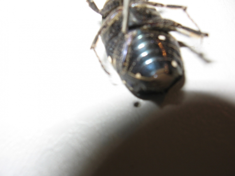 картинка: Indoprotaetia_alboguttata_fem_ventr.JPG