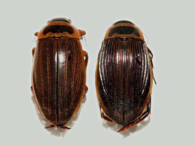 картинка: Dytiscus_lapponicus.jpg