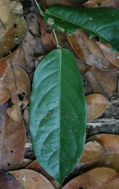 картинка: Hirtella_racemosa_leaf.jpg