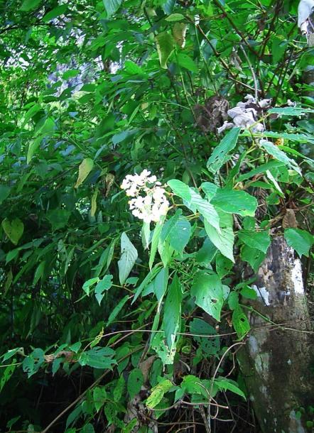 картинка: Begonia_glabra1.jpg