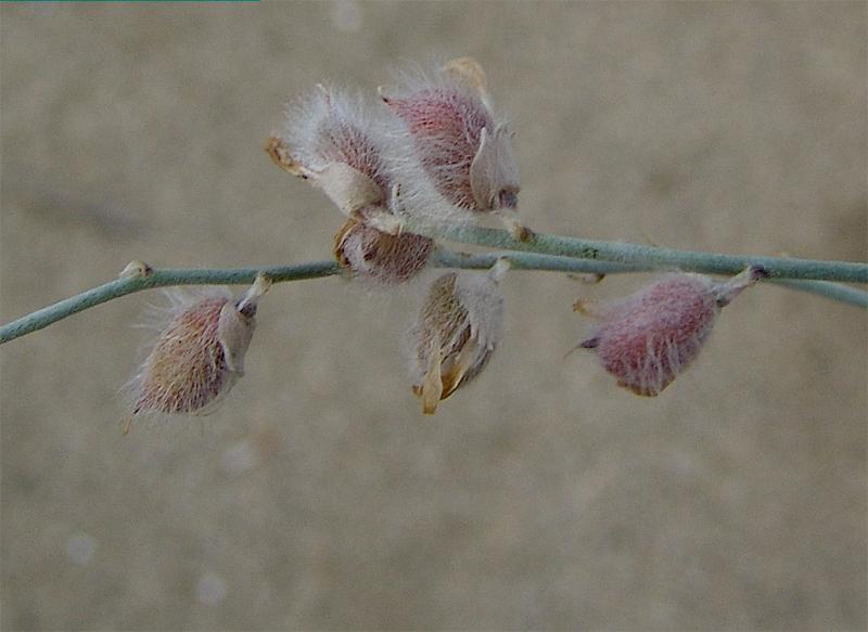 картинка: Astragalus_karakugensis4.jpg