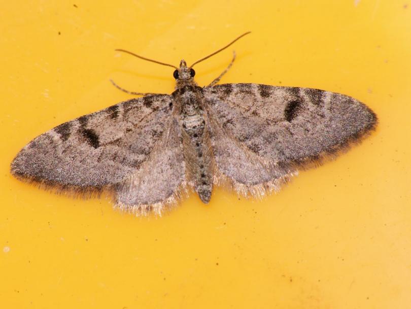картинка: Eupithecia_conterminata.JPG