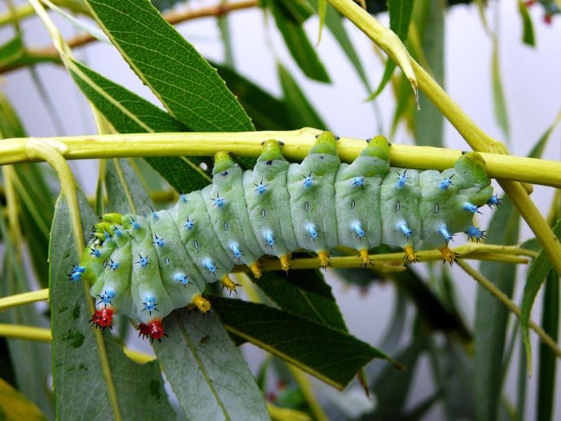 картинка: Hyalophora_cecropia_fourth_instar_larva1.jpg