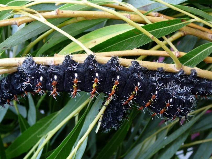 картинка: Nudaurelia_wahlbergii_final_instar_larva2.jpg