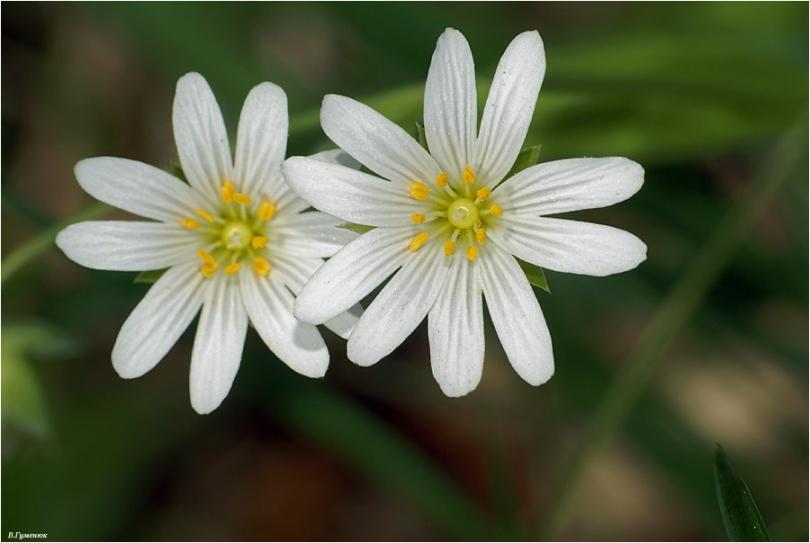 Мокрица цветок