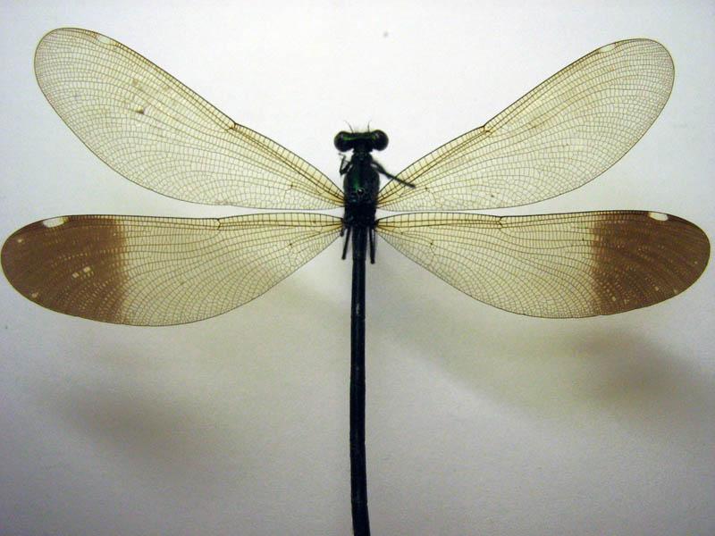 картинка: Calopteryx_2164.jpg