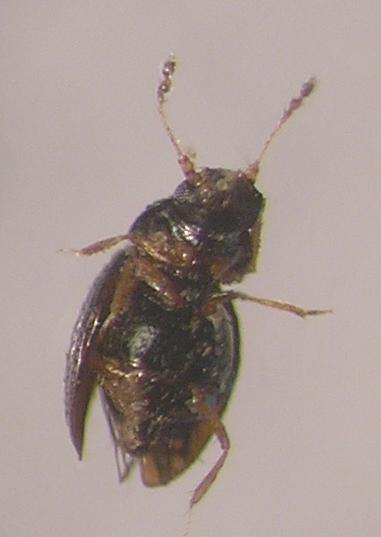 картинка: ptilinidae.jpg