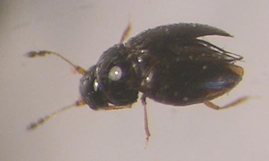 картинка: ptilinidae1.jpg