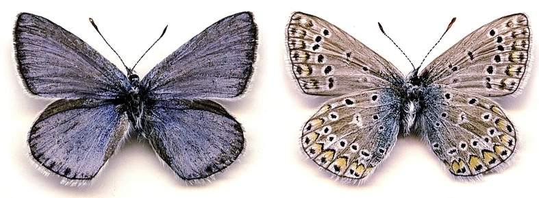 картинка: Polyommatus_XXX.jpg