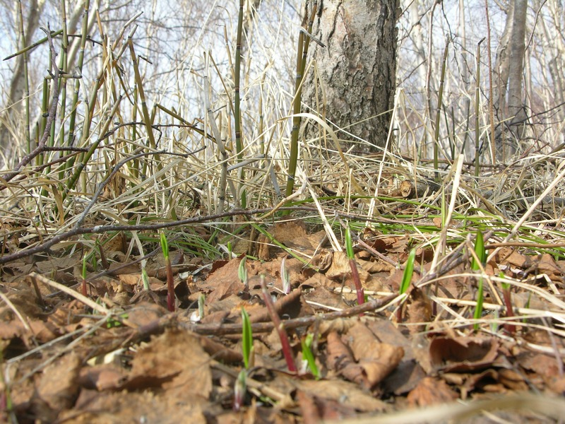 картинка: Allium_ochotensis_0.jpg