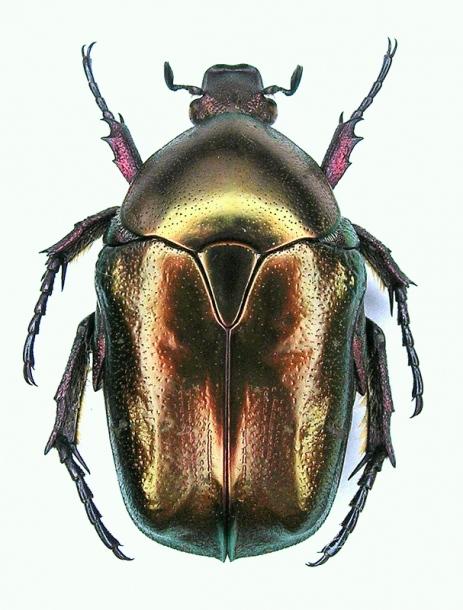 картинка: Potosia_cuprea_olivacea1_dors.JPG