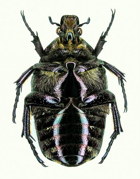 картинка: Potosia_cuprea_olivacea1_ventr.JPG