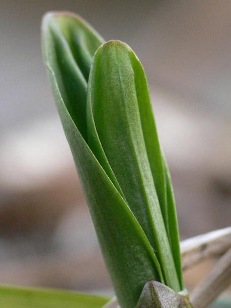картинка: Allium__ochotense.jpg