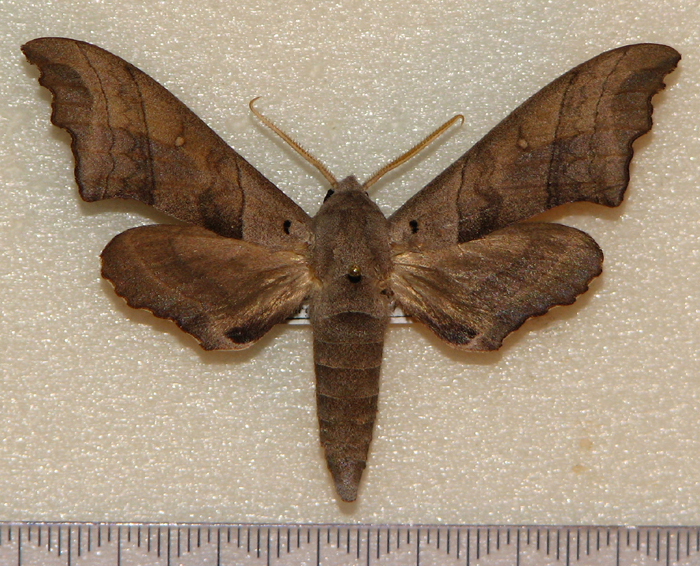 картинка: Polyptychoides_niloticus__Jordan_1921_.JPG