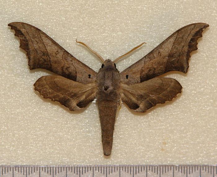 картинка: Polyptychoides_grayii__Walker_1856_.JPG