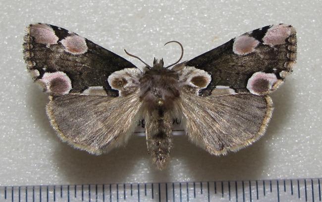 картинка: Thyartira_batis_Linnaeus_1758.JPG