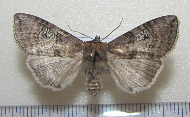 картинка: Tethea_ocularis_Linnaeus_1767.JPG